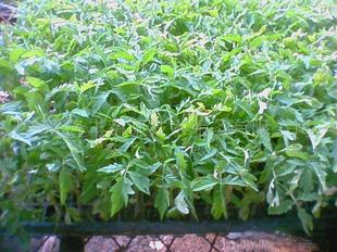 山东番茄苗