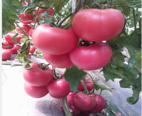 粉西红柿苗