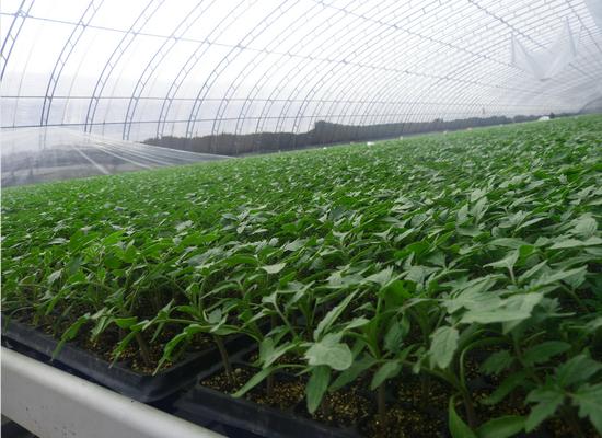 西红柿苗厂家