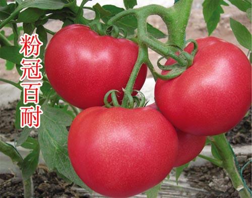 粉冠西红柿苗