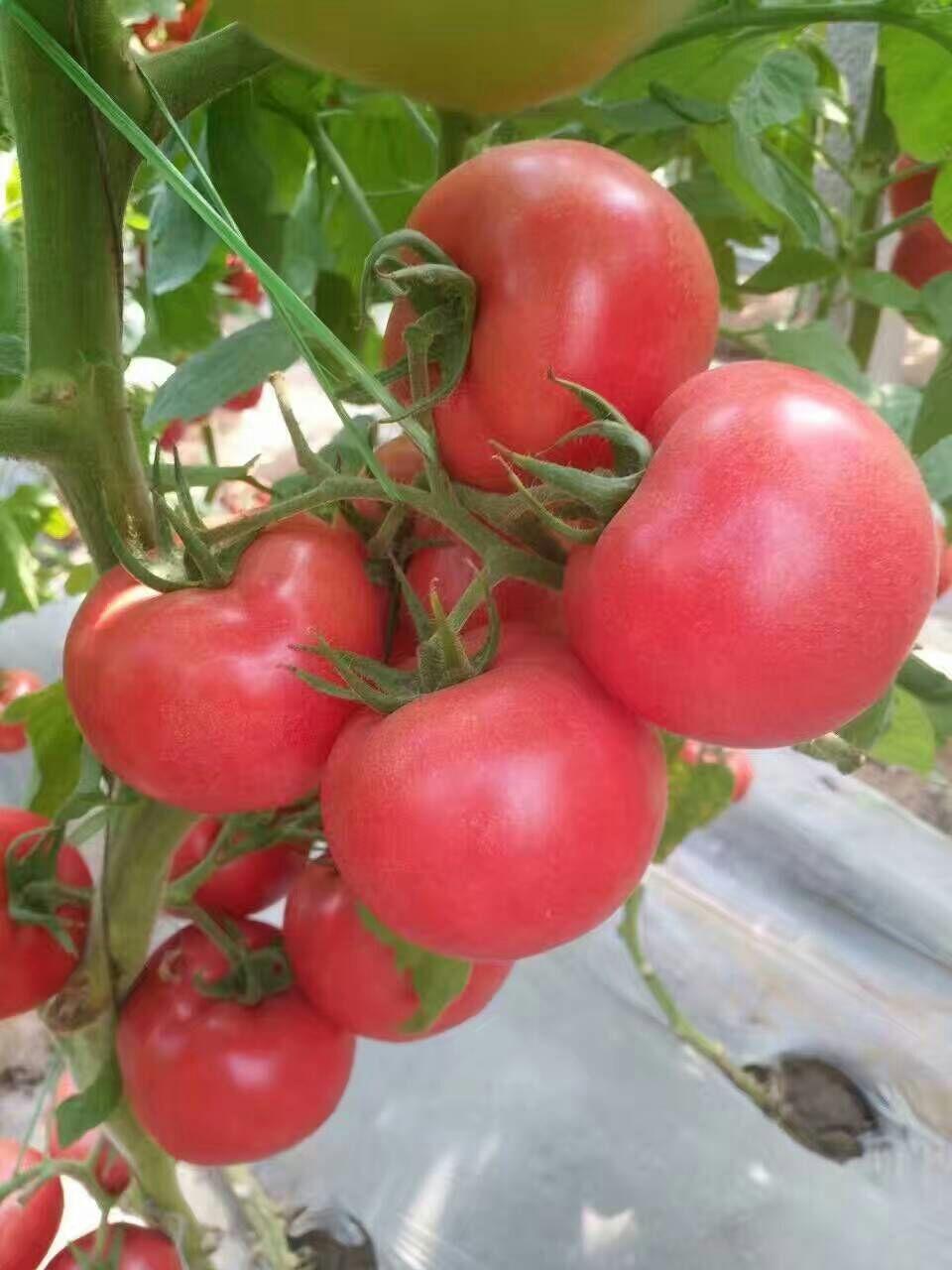 泰格尔-大粉西红柿苗