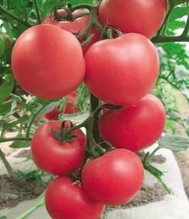 金迪娜-番茄苗厂家