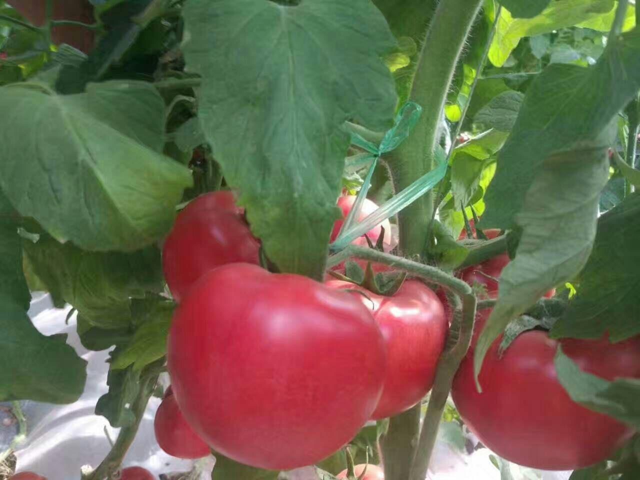 美粉212-西红柿苗