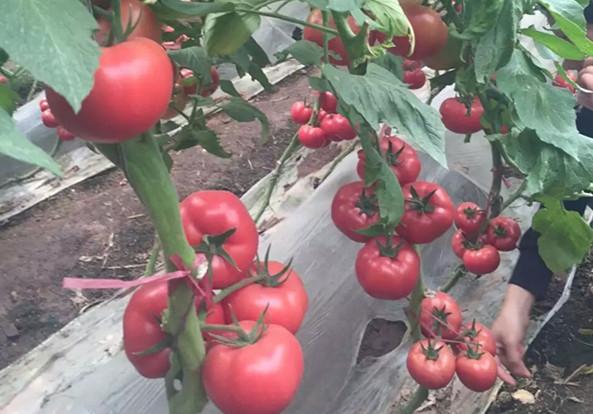 泰戈尔-西红柿苗