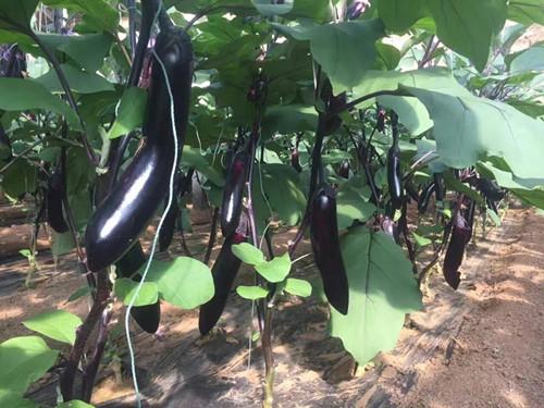 紫把—长茄子苗