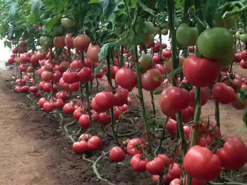 硬粉西红柿苗