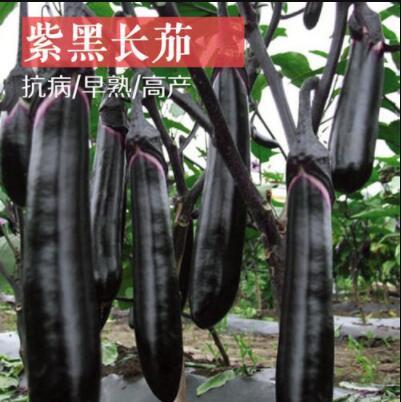 紫黑色长茄苗-大龙