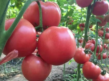 大果型番茄苗