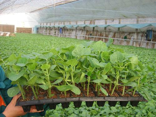 耐寒黄瓜苗品种-绿冠108
