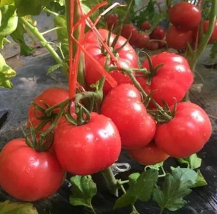 普罗旺斯西红柿苗