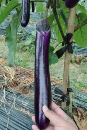紫红嫁接长茄苗