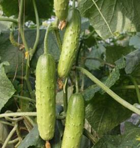 偏白旱黄瓜苗品种