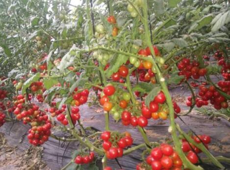 小番茄苗釜山88