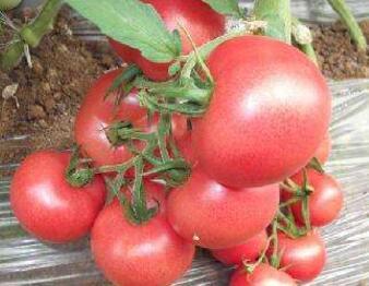 西红柿育苗厂