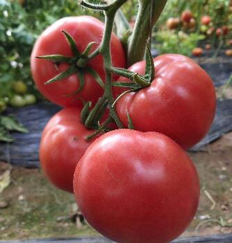 越冬番茄苗品种