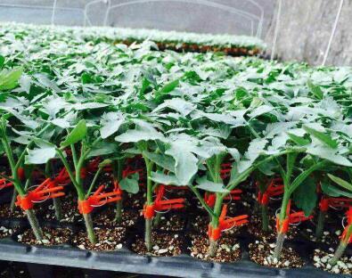 小西红柿苗-品种